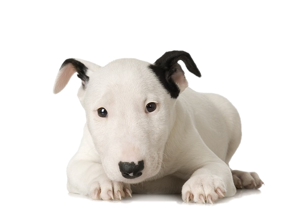 bull terrier PLZZEXL - Home